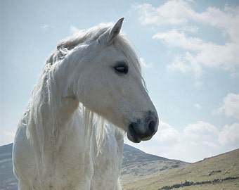 Horse photography, equine art, nature photo, white horse, scottish highland pony, choice of sizes