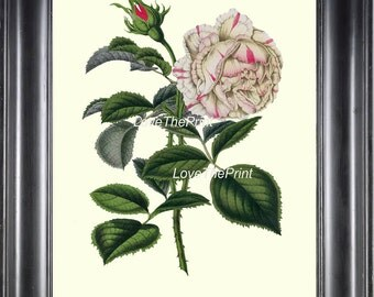 BOTANICAL PRINT HOUTTE  Art Print 154 Beautiful White Pink Rose Antique Flower Plant Garden Home Wall Decor Interior Design to Frame