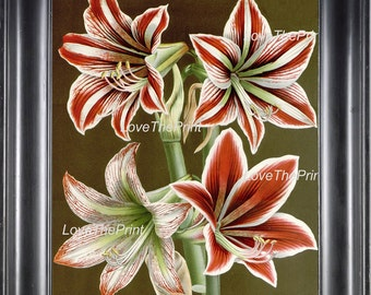 BOTANICAL PRINT HOUTTE  Art 209 Beautiful Pink White Red Amaryllis Large Antique Flower Winter Christmas Garden Wall Decor to Frame
