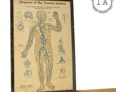 Vintage Framed Anatomical Medical Chart Diagram Of The Venous System