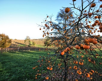 Persimmon Tree in a (Sud) French Autumn