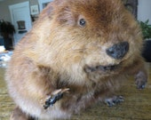 Welcome to Canada! Huge Free Standing Taxidermy Beaver Mount