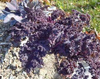 Organic Scarlet Kale Seeds
