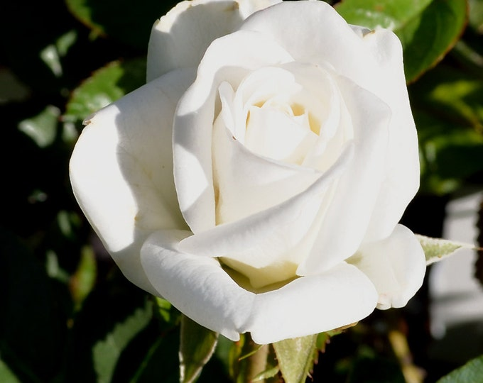 Climbing Iceberg Rose Floribunda White Rose Organic Grown Potted - Own Root Non-GMO - Shipping Now