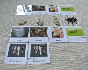 Montessori Life Cycle of An Ant 5 Parts Cards with Miniatures