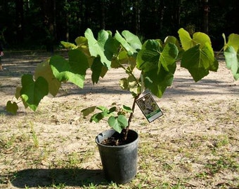 Concord Grape Vine 1 Gal. Plants Vines Vineyard Home Garden Plant Healthy Grapes Sweet Grapes Vineyards Natural Antioxidants Healthy Living