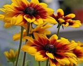 100 - Gloriosa Daisy Seeds - Heirloom Daisies, Non-GMO Daisies, Heirloom Flower Seed, Non-gmo Flower Seed, Wildflower Seed, Heirloom Daisies