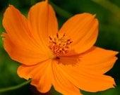 400 - Bulk Cosmos Seeds - Orange Sunshine - Heirloom Cosmos Seed, Bulk Flower Seed, Orange Cosmos Seed, Non-gmo Cosmos Seed, Heirloom Cosmos