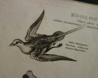 Antique birds engraving original 1829 old bird print of old b/w pictures about jacana tropicbird spotted shag hamerkop hammerhead boatbill