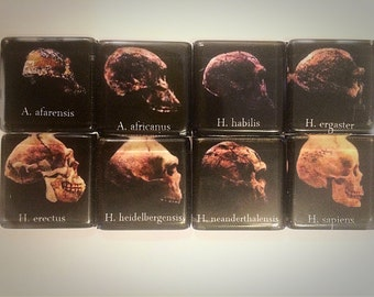 Human skull evolution magnets