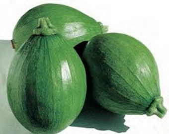 Asian Vegetable Seeds - Early Bulam, Korean summer squash a.K.a avocado squash,Ready to harvest 8 days after flowering !