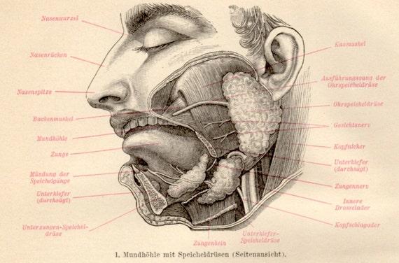 Fein Anatomie Der Mund Und Rachen Bilder Zeitgenössisch - Anatomie ...