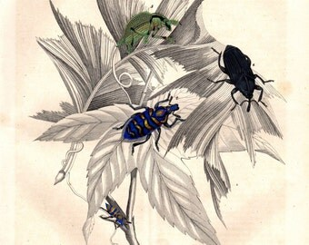 1844 Antique Print Beetle Bugs Insect Natural History Entomology Bugs 10 X 8 Inches