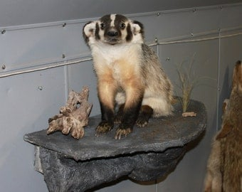 This is a full mounted Badger sitting on a rock.  This is a beautiful animal.  This would make a great gift.