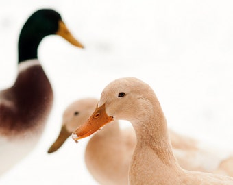 FREE GIFT, Ducks in Snow Photograph, Winter Scene Photograph, Nursery Photo, Duck Photography, Animal Photograph