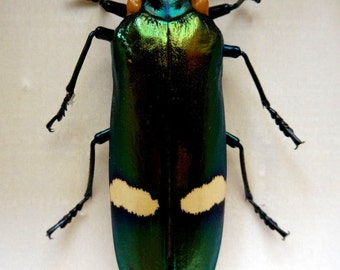 Real Megaloxantha Bicolor Palawanica. Framed - Taxidermy - Home Decoration - Collectibles