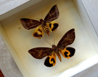 Real EUDOCIMA MOTH Framed - Taxidermy - Home Decoration - Fruit Piercing Moths - Collectibles