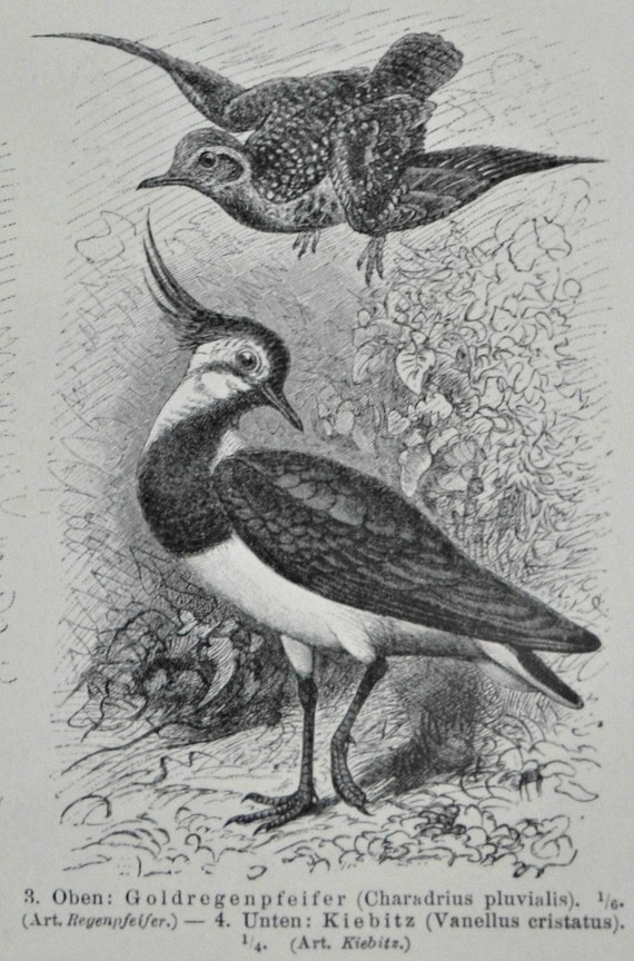 Fowls print.Little bustard,Plover,Vanellus,Grey-winged trumpeter.,1897.Antique illustration.117 years lithograph.9'6 x 6'2 inches.
