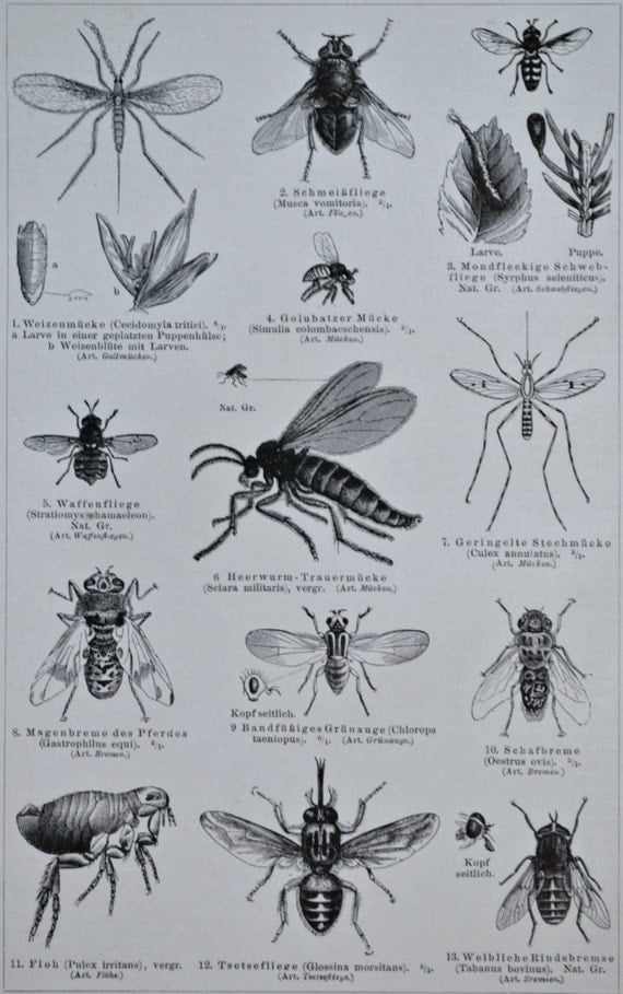 Flies engraving. Insects print.  1897. Antique illustration. 118 years lithograph. 9'6 x 6'2 inches.