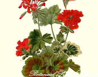 "Botanical Print. Geranium. Pelargonium. Red Flower Print. 5x7"", 8x10"", 11x14"", 13x19"""