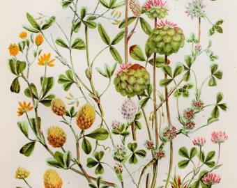 Anne Pratt Antique Botanical Print - Trefoils (60)