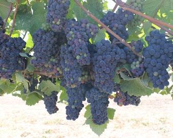 Napa Valley artwork/ photograph/ Vineyards in Napa Valley, California/ wine artwork/ wine decor/ wall and home decor/ bubbles/ vineyard art