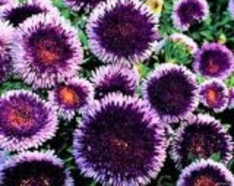 Blue Moon Aster Flower Seeds / Pompon / Annual  20+