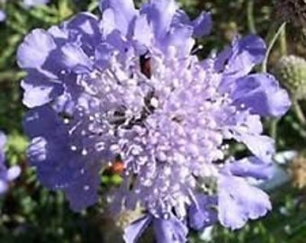 Lilac Pincushion Flower Seeds / Scabiosa / Perennial  25+