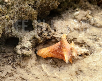 Conch Shell, Shell, Ocean,Photography,Conch