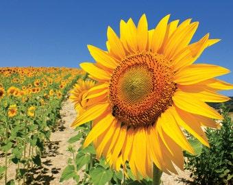 Sunflower Shining Bright, Sierra de Cadiz, Spain, Fine Art Print, Brighten Up Your Day