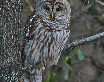 Barred Owl Nestled on a Limb in Fairfax, Virginia, Owl Photograph, Wildlife Art, Barred Owl Picture, Bird Photo, Birds of Prey, Animal Print