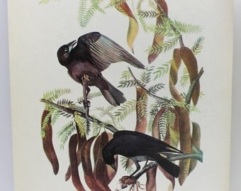 Fish Crow image, bird image, antique bird image, Fish Crow, fish crow hanging image,man gift,man cave,home decor,