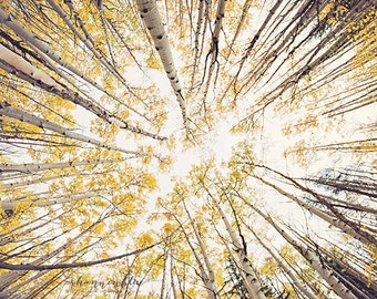 aspen photography, nature photography, autumn, fall, gold, golden, mustard yellow, fall foliage, colorado / fall looking up / 8x10 fine art