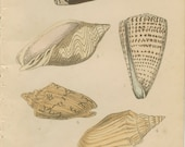 1856, Lettered Cone Shell, Undulated Volute, Pacific Volute, Bat Volute, Shell Book Plate 5, Hand Coloured, Antique Frameable Art, Adams