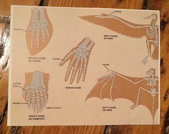 20thC assortment of animal skeletons original vintage lithograph