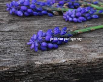 "Nature Photography, Macro Photography, Purple Flowers, Barnwood, Grape Hyacinth, ""Spring Gifts"", Purple, Gray, Green, Home Decor"