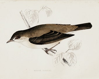 1865 Antique BIRD print of a Garden Warbler,  Original antique hand colored print