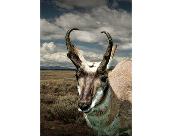 American Pronghorn Antelope Wildlife in Yellowstone National Park Photograph No. 6794 - A Wildlife Animal Photograph