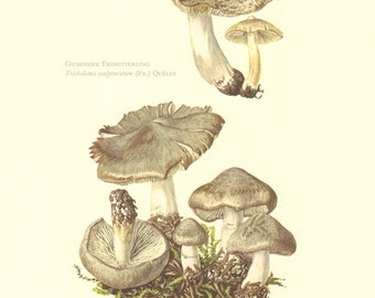1963 Grey Knight Tricholoma terreum and Yellowing Knight Tricholoma scalpturatum Vintage Offset Lithograph