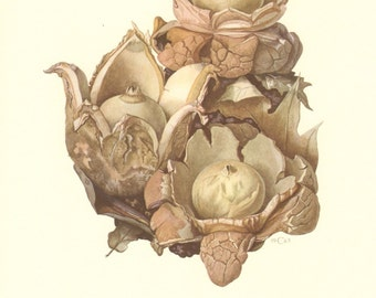 1963 Collared Earthstar Geastrum triplex Vintage Offset Lithograph