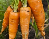 CLEARANCE SALE Chantenay Heirloom Carrots Sweetest Roots for Juicing and Fresh Use Organically Grown Rare Seeds