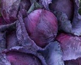 SALE Red Express Cabbage Heirloom Seeds Grown to Organic Standards