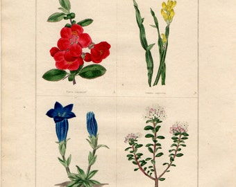 1836 Antique Botanical Print - Japonica, Genista, Gentianella, Box leaved Ledum, Benjamin Maund, Original Handcolouring, Floral Wall Art