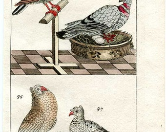 Fancy Pigeons Original Hand Colored Copperplate Engraving Early 19th Century