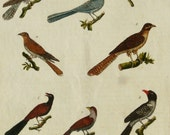1790 Antique print of CUCKOOS, different species. Cuckoo. 224 years old nice copper engraving.