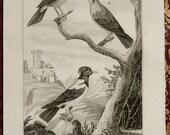1835 Antique print of BLACKBIRDS, different species. Bird. Birds. Blackbird. Ornithology. 181 years old rare Buffon copper engraving