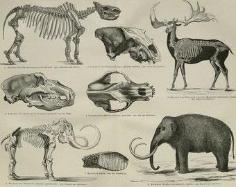 1890 Antique fine print of FOSSILS, PALEONTOLOGY. Dinosaurs. Jurassic Animals. Mammut. Mastodon. Skeletons. 126 years old anatomical print.