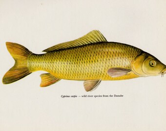 Beautiful Vintage Carp Print Fish Print Fishing Lodge and Cabin Decor Gallery Wall Art Gift for Fisherman 2639
