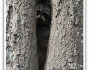 Iphone Case, Fine Art Photography, iPhone 4/4s, iPhone 5/5s, iPhone 6, Baby Raccoon in Old Oak Tree