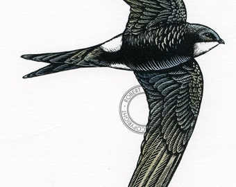 Swift, scratchboard - bird art, wildlife art - nature print of original artwork
